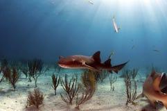 Pielęgniarka rekin Fotografia Stock