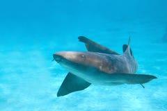 pielęgniarka rekin Obrazy Stock