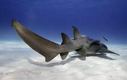 Pielęgniarka rekin podwodny Obraz Stock
