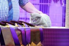 Piel gris del gato tailand?s gordo de Korat y ojos amarillos, con la etiqueta de la cinta del ganador imagen de archivo