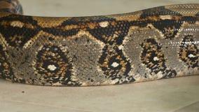 Piel hermosa del constrictor de boa, Costa Rica almacen de metraje de vídeo