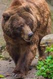 Piel marrón del oso grizzly que camina a través del bosque Imagenes de archivo
