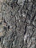 Piel momificada árboles viejos Fotografía de archivo libre de regalías