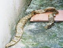Piel mudada de una serpiente en casa fotos de archivo