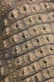 Piel posterior del cocodrilo Fotos de archivo
