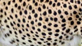 Piel real del guepardo que sopla en el viento Ciérrese encima de tiro macro del pelo animal en la cámara lenta libre illustration