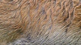Piel real del jabalí que sopla en el viento Ciérrese encima de tiro macro del pelo animal en la cámara lenta almacen de video
