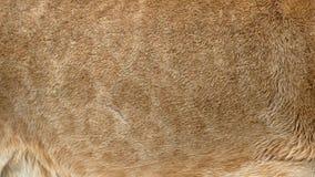 Piel real del león que sopla en el viento Ciérrese encima de tiro macro del pelo animal en la cámara lenta stock de ilustración