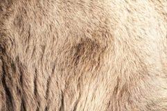Piel real del oso Imagenes de archivo