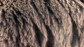 Piel real del oso que sopla en el viento Ciérrese encima de tiro macro del pelo animal en la cámara lenta almacen de video