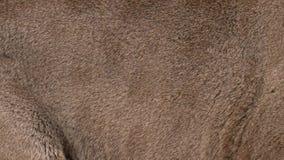 Piel real del puma que sopla en el viento Ciérrese encima de tiro macro del pelo animal en la cámara lenta stock de ilustración
