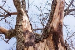 Piel seca de la corteza de árbol foto de archivo libre de regalías