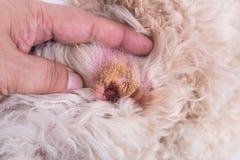 Piel seca del oído del perro, sugiriendo síntoma del hematoma aural imagen de archivo libre de regalías