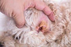 Piel seca del oído del perro, sugiriendo síntoma del hematoma aural imagenes de archivo