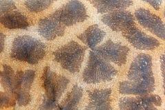 Piel texturizada de la jirafa Fotografía de archivo