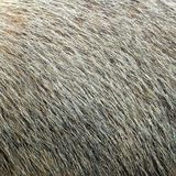 Piel texturizada marmota Imagen de archivo