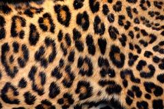 Piel verdadera del leopardo Foto de archivo libre de regalías