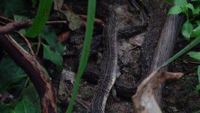 Piel vieja muerta de la serpiente negra de la cobra real almacen de metraje de vídeo