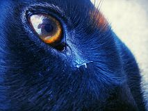 Piel y ojos del Doberman debajo del sol Imagen de archivo