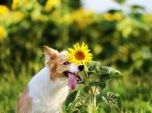 Pieles divertidas del perro del border collie detrás de un girasol Imagen de archivo