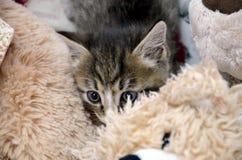 Pieles grises del gatito imagen de archivo