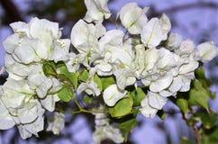 In piena fioritura Fotografia Stock Libera da Diritti
