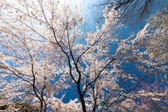 Piena fioritura del ciliegio giapponese Fotografia Stock