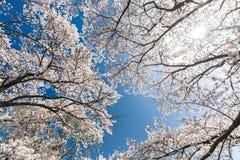 Piena fioritura del ciliegio giapponese Fotografie Stock