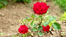 Piena fioritura delle rose rosse immagini stock libere da diritti