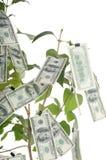 Pieniądze drzewo Zdjęcia Stock