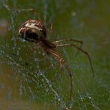 Pieniądze pająk, Linyphia triangularis obrazy stock