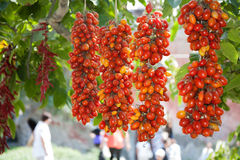 Piennolo tomatos. Piennolo of red tomatoes hanging from a tree royalty free stock photography