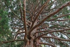 In pieno della quercia ramificata Immagini Stock Libere da Diritti