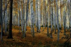 Pieno di sole, alberi di faggio di autunno Fotografia Stock