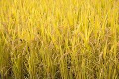 In pieno maturi il riso in autunno Immagini Stock Libere da Diritti