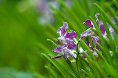 Piepende Orchideeën Stock Foto