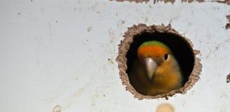Piepende vogel Stock Afbeeldingen