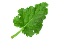 Pieplant vegetable leaf royalty free stock image
