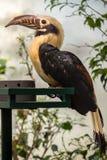 Pieprzojad, Duży belfra ptak Zdjęcie Royalty Free