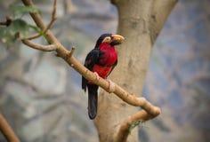 Pieprzojad, Duży belfra ptak Fotografia Royalty Free