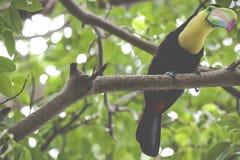 Pieprzojad w lesie tropikalnym z drzewem i ulistnieniem w mornin, wcześnie Obrazy Stock
