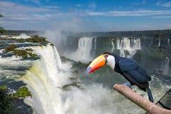 Pieprzojada toco przy Cataratas Iguacu Fotografia Royalty Free