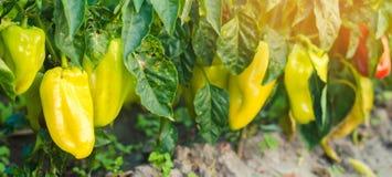 Pieprzowa choroba powoduje Phytophthora infestans wirusowymi Rolnictwo, uprawia ziemię, uprawy choroba warzywa na polu Sel zdjęcie stock