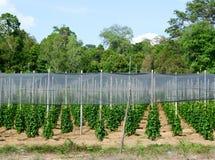 Pieprzowa plantacja w Phu Quoc, południowy Wietnam Obraz Royalty Free
