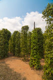 Pieprzowa plantacja, Wietnam Zdjęcia Royalty Free