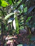 Pieprzowa roślina w Goa, India zdjęcie royalty free