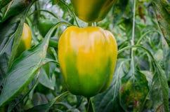 Pieprzowa roślina Obrazy Stock