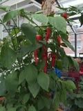 Pieprzowa roślina Zdjęcia Stock