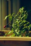 Pieprzowa roślina zdjęcie royalty free
