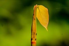 Pieprzowa roślina Zdjęcie Stock